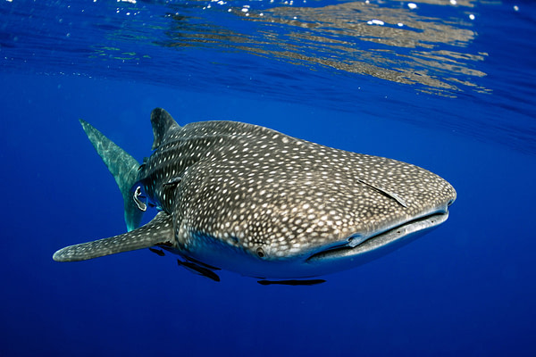 The best places to dive with whale sharks